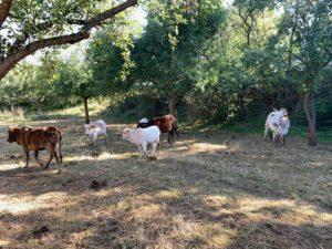 Zebus auf der Weide