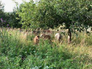 Zebus im hohen Gras