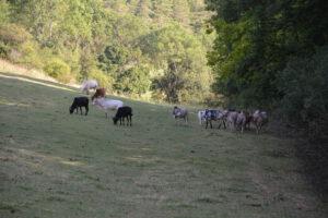 Weidehaltung Zwergzebubullen