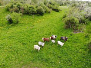 Weidehaltung Zwergzebu Herde Magnus