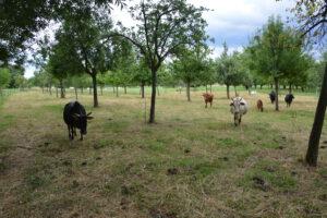 Weidehaltung Zwergzebu Herde Picco