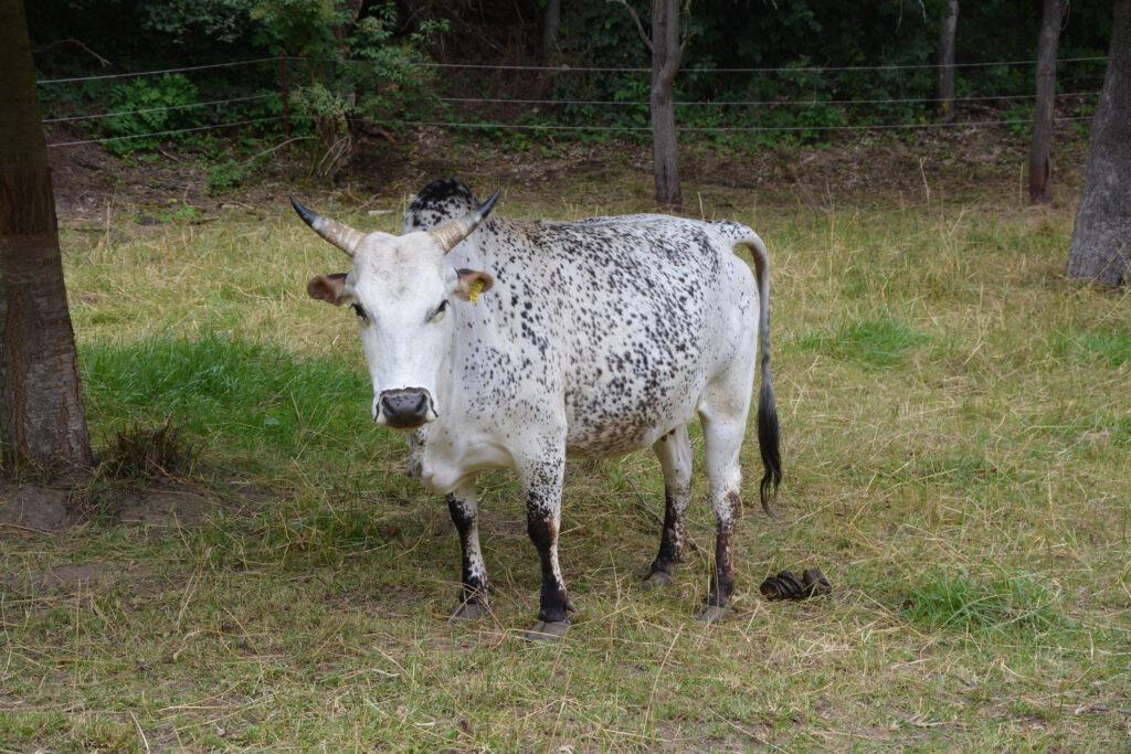 Zwergzebu Kuh Dariaa