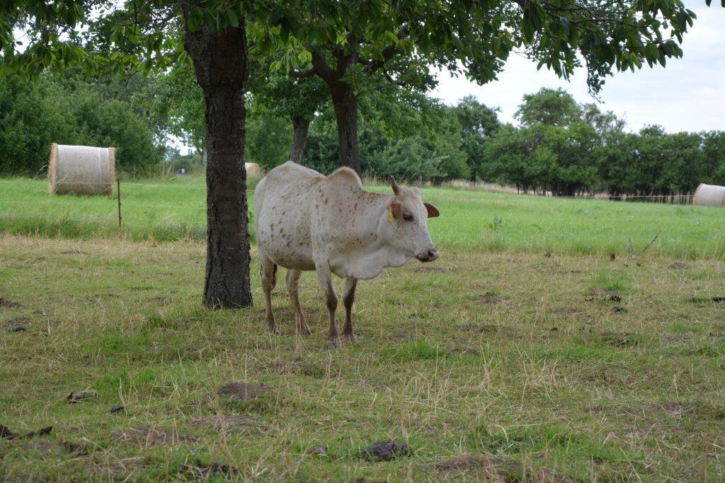 Zwergzebu Kuh Kessy