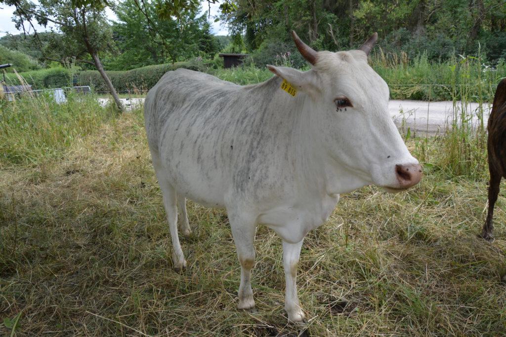Zwergzebu Kuh Lotta