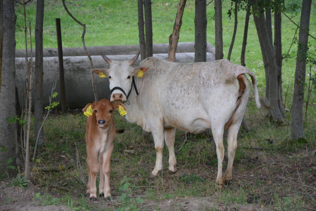 Zwergzebu Kuh Sunny